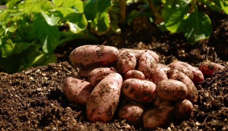 урожайный огород картофель